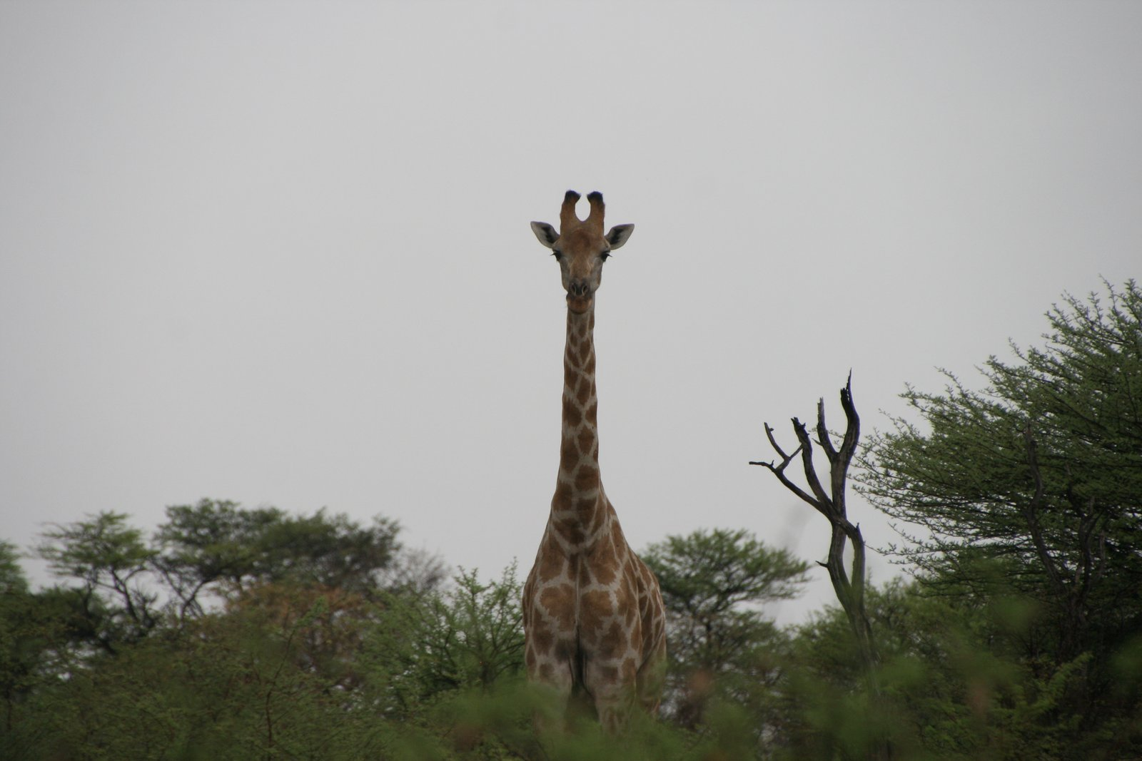 giraffe looking over the trees in the Kalahari desert